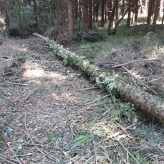 Norway spruce log